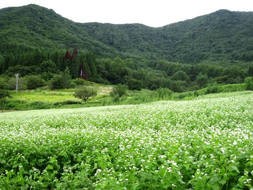 信濃町黒姫山麓の傾斜地にある蕎麦畑